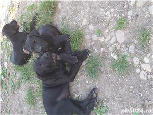Catei cane corso - imagine 2