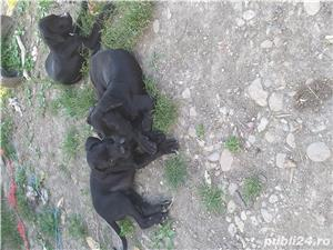 Catei cane corso - imagine 3