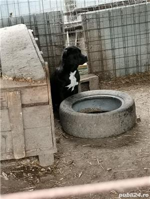 Pui cane corso  - imagine 1