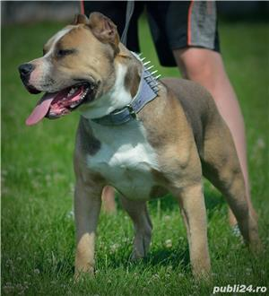 Mascul Monta Amstaff - imagine 2