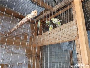 Vand papagali cantatori - imagine 3