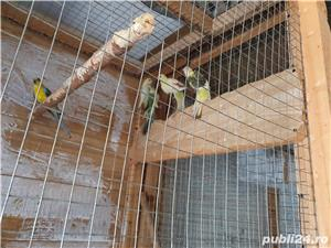 Vand papagali cantatori - imagine 2