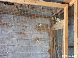 Vand papagali cantatori - imagine 4