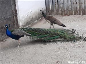 Păsări Exotice  - imagine 2