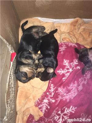 Yorkshire terrier - imagine 2