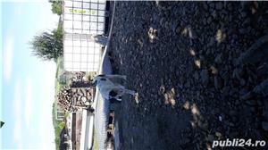 Ciobanesc asia centrala - imagine 4