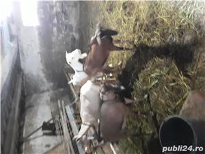 Vînd urgent capre de rasa  - imagine 4