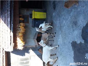 Vînd urgent capre de rasa  - imagine 2