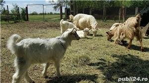Vand vaci si capre. Buzau, Merei, Dealu Viei. - imagine 5