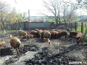Porci mangalița    - imagine 4