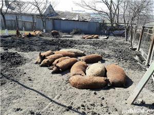 Porci mangalița    - imagine 3