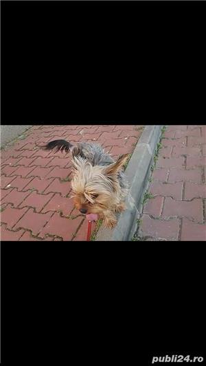 yorkshire terrier fetita - imagine 2