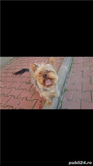 yorkshire terrier fetita - imagine 1