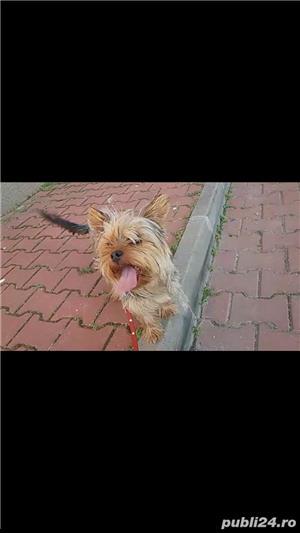 yorkshire terrier fetita - imagine 3