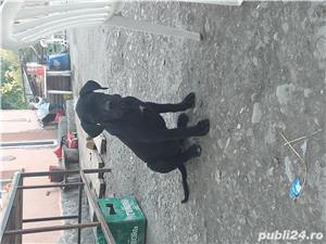 Catei cane corso - imagine 6