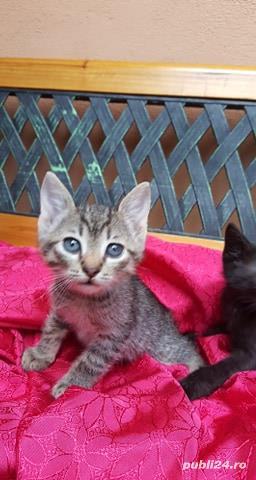 Ofer spre adoptie pisici 2,5  luni  - imagine 1