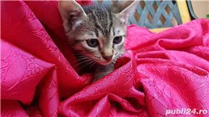 Ofer spre adoptie pisici 2,5  luni  - imagine 2