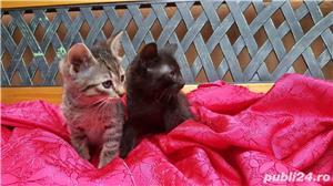 Ofer spre adoptie pisici 2,5  luni  - imagine 3