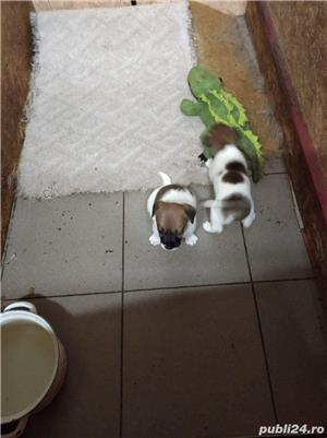 Catelusi jack russel terrier /rusel/russell - imagine 2