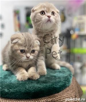 Vand pisici scottish fold bucuresti iasi constanta brasov craiova - imagine 5
