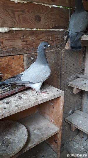 Porumbei voiajori albastri - imagine 1