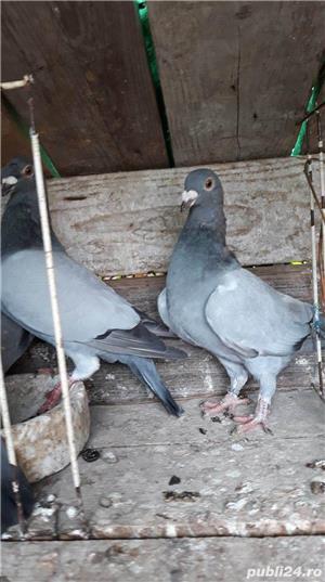 Porumbei voiajori albastri - imagine 3