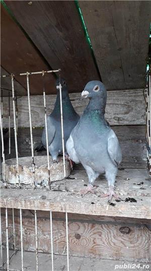Porumbei voiajori albastri - imagine 5
