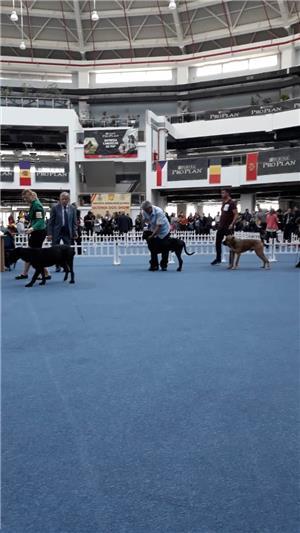 Cane corso rasa pura disponibil pentru montă - imagine 1