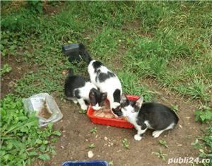 Pui de pisica pentru adoptie gratuita jud. Arad - imagine 5
