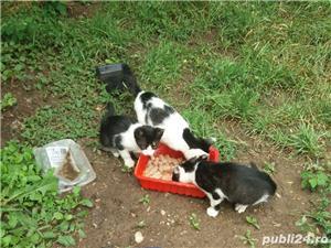 Pui de pisica pentru adoptie gratuita jud. Arad - imagine 4