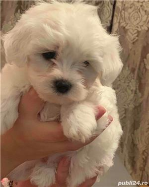 bichon maltez rasa pura 100% - imagine 3