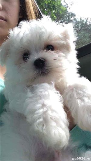 bichon maltez rasa pura 100% - imagine 1
