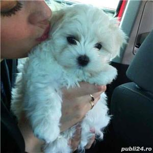 bichon maltez rasa pura 100% - imagine 2