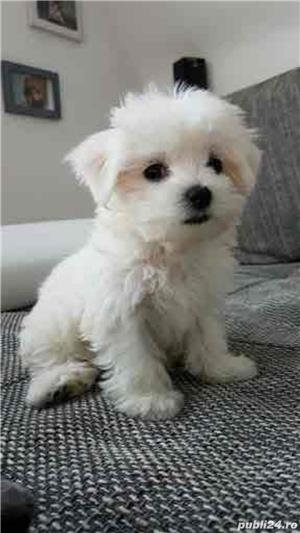 bichon maltez rasa pura 100% - imagine 4