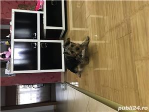 Vand Yorkshire Terrier - imagine 1
