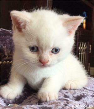 puisori british white cu ochii albastrii - imagine 2