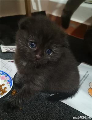 Scottish tabby negru!!!  - imagine 4