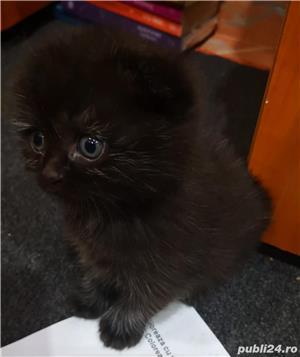 Scottish tabby negru!!!  - imagine 1