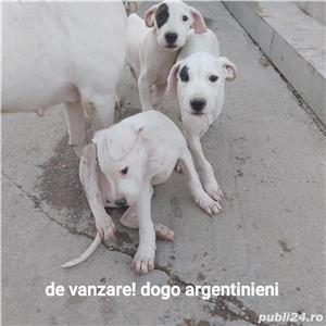 Dogo argentinian - imagine 3