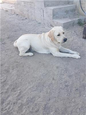Labrador retriever monta - imagine 5