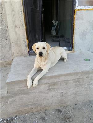 Labrador retriever monta - imagine 7