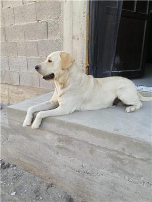 Labrador retriever monta - imagine 6