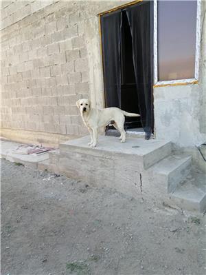 Labrador retriever monta - imagine 4