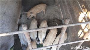 Porci Mangalița - imagine 2