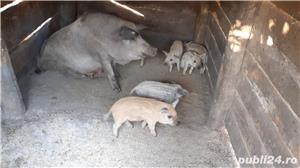 Porci Mangalița - imagine 1