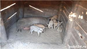 Porci Mangalița - imagine 5