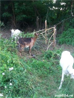 Vand 2 capre sannen si una metis alpin francez. - imagine 1