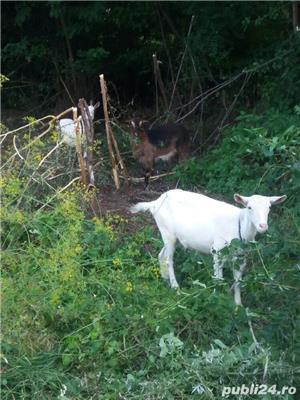 Vand 2 capre sannen si una metis alpin francez. - imagine 2