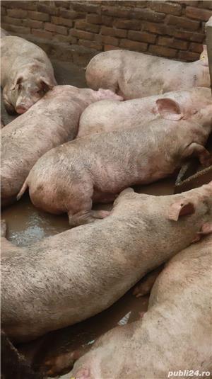 Porci și purcei - imagine 3