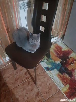 Pisica British Shorthair blu de8-10 săptămâni  - imagine 5